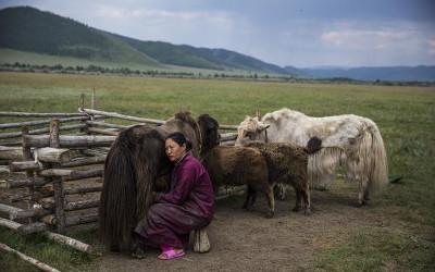herder-milks-yak