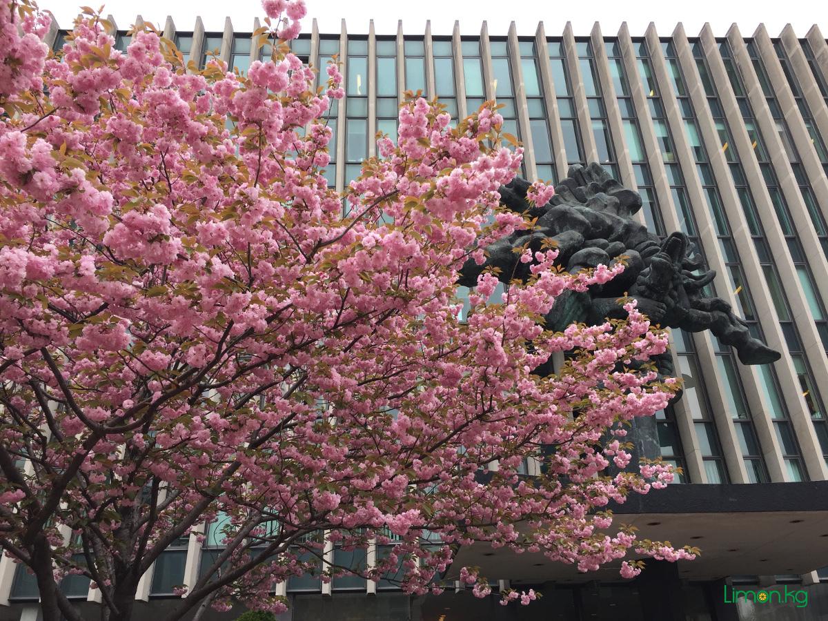 Columbia Law School во время цветения сакуры