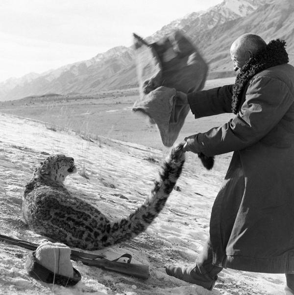 Снежный барс (ирбис). Фото (31)