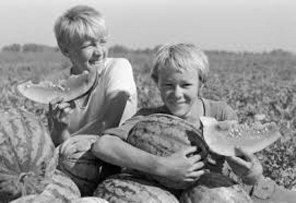 Сбор арбузов в совхозе