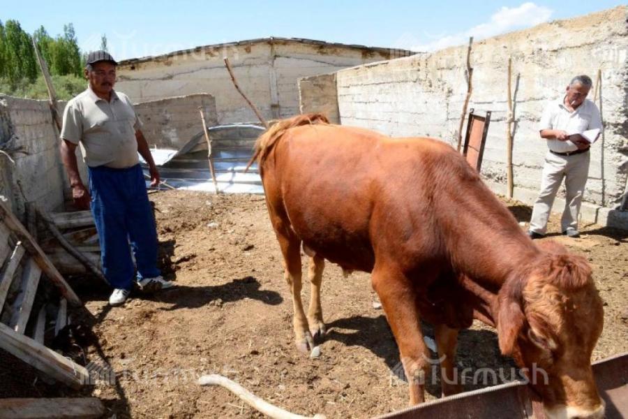 Выращивание быков производителей 29