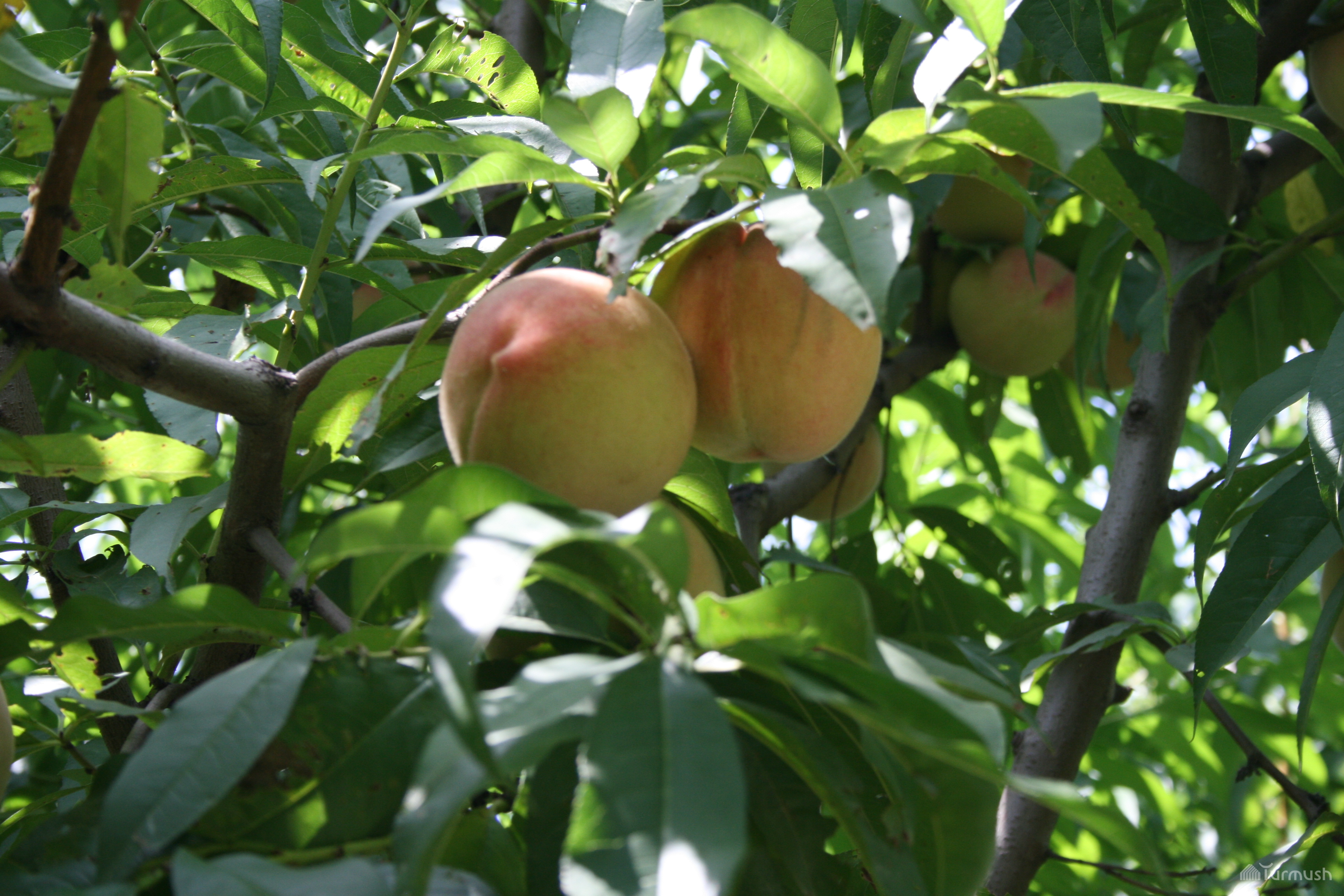 Как вырастить абрикос из косточки в 52