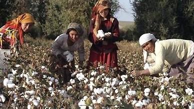В Таджикистане собрано около 270 тыс. тонн хлопка