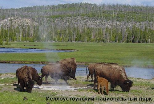 yellowstone-national-park-bison1