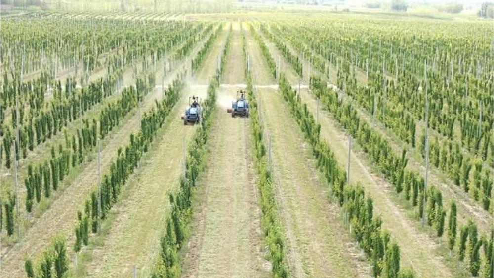 В Узбекистане в ряде районов создадут оливковые плантации по 100 гектаров