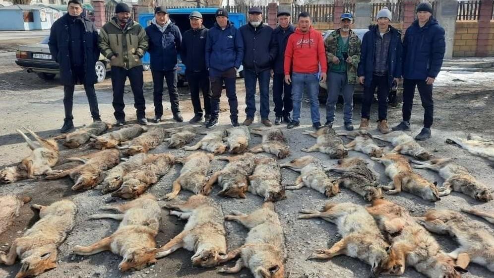 """В Кыргызстане охотники устроили """"парад""""  всех шакалов, которых отстрелили."""