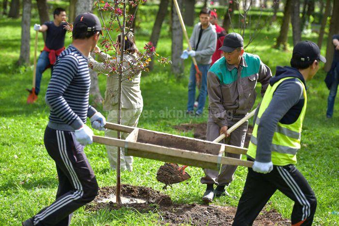 Будут ли обрабатываться бишкекские деревья?