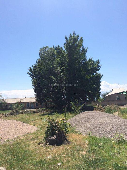 Вырубку дубов в селе Милянфан провели, согласовав с Госэкотехинспекцией, - Иссык-Атинский акимиат