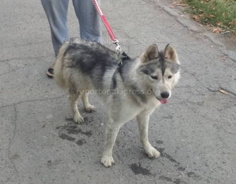 Работник «Тазалыка» ищет хозяйку собаки, похожую на хаски, потерявшуюся в Дубовом парке <b><i>(фото)</i></b>