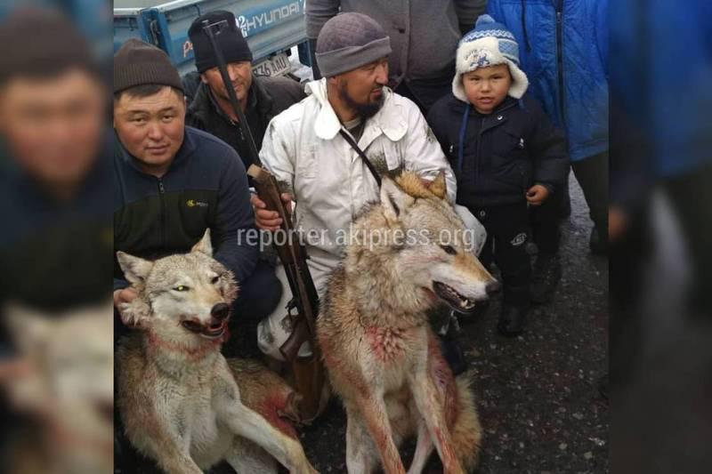 В Алайском районе жители села Тогуз-булак застрелили двух волков (видео)