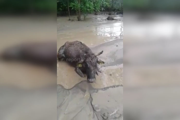 В Баткене селевые потоки унесли корову. Она выжила <i>(видео)</i>