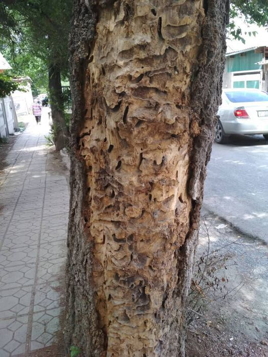 Сотрудники «Бишкекзеленхоза» выедут на Буденного-Ялтинской и проведут обследование дерева