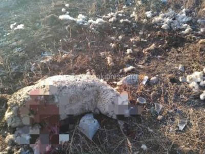 На Иссык-Куле бродячие собаки растерзали двух овец, - житель (фото)