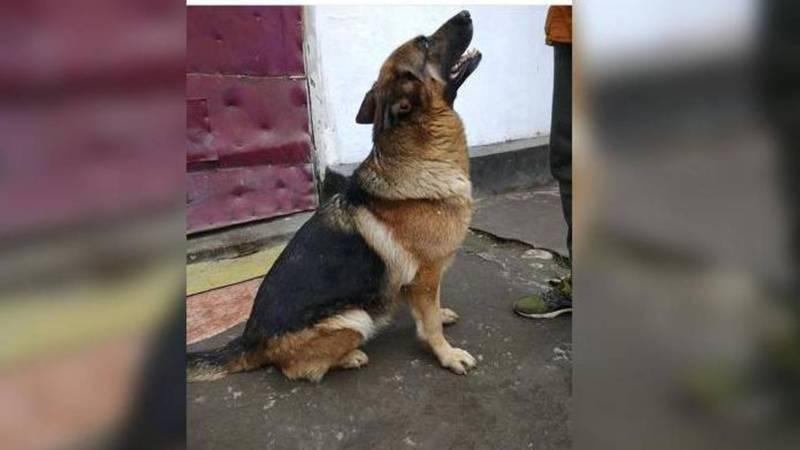 В Бишкеке пропала немецкая овчарка по кличке Ева. Хозяева просят вернуть ее за вознаграждение в $200