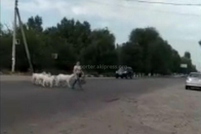 Видео — Умные козы в селе Покровка переходят улицу на светофоре