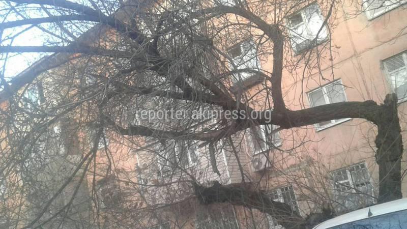 В мкр №4 стоит сухое дерево, которое может упасть (фото)
