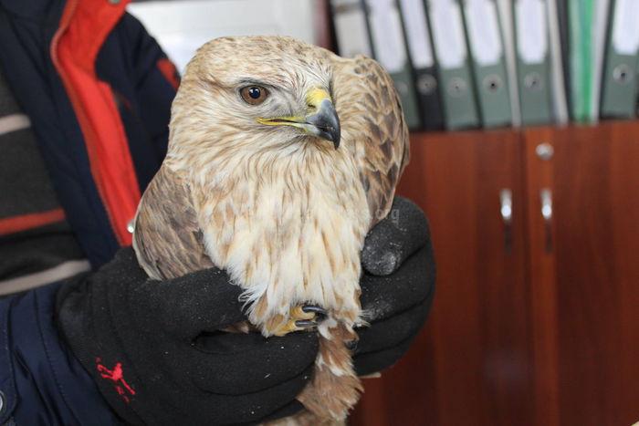 Госагентство охраны окружающей среды передало хищную птицу, найденную в Джале, в «НАБУ» для дальнейшей реабилитации и выпуска в природную среду <i>(фото)</i>