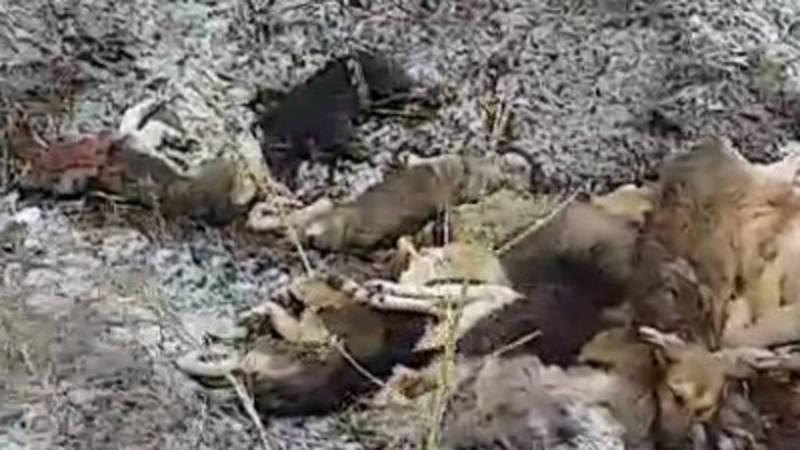В селе Жекен житель обнаружил около двадцати мертвых собак. Видео
