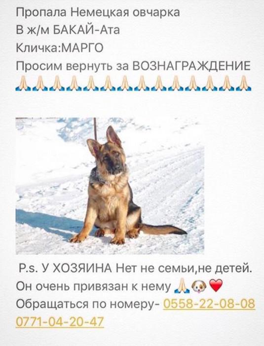 В Бишкеке месяц назад пропала немецкая овчарка по имени Марго (фото)