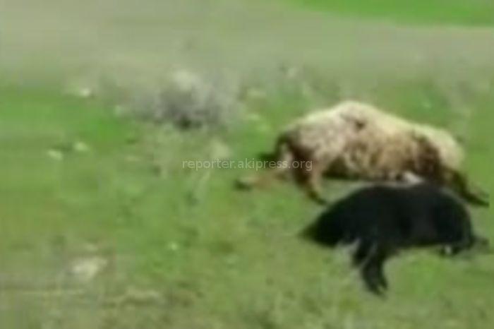 В Таласской области молния убила 15 овец (видео)