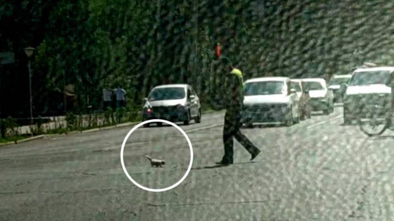 Котенок едва не попал под колеса автомашин, его спас патрульный. Самое милое видео дня