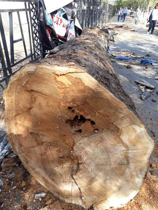 Возле гимназии №5 вырубили деревья: Они были действительно аварийные, - «Бишкекзеленхоз»