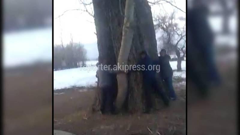 Самый большой тополь в Кыргызстане растет на Иссык-Куле? Видео