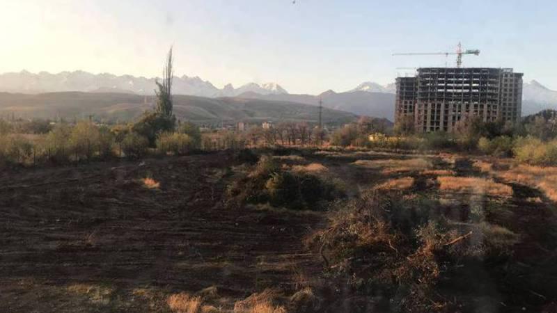 На пр. Ч. Айтматова выше дома №82 по ночам валят многолетние деревья (видео)