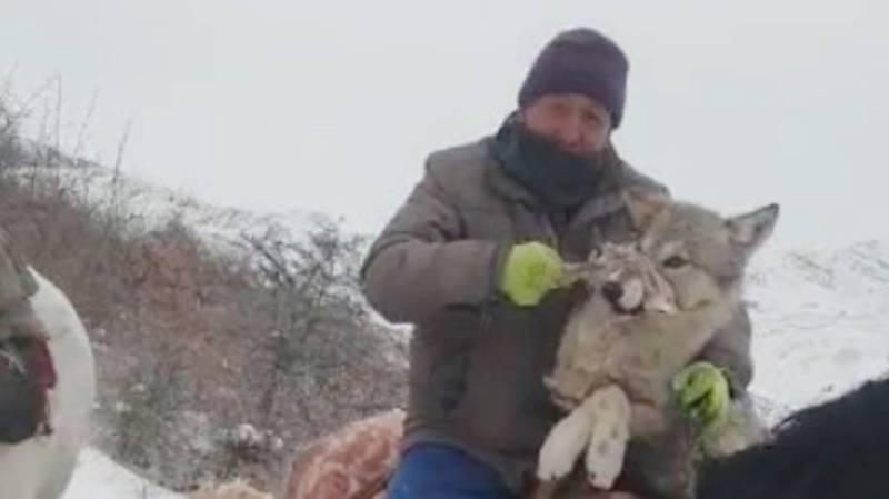 Жители Чон-Алая живьем поймали волка. Видео