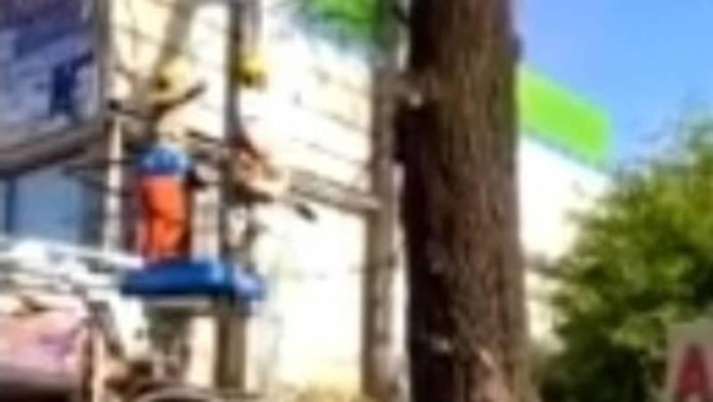«Бишкекзеленхоз» убрал аварийное дерево возле Ошского рынка, - мэрия. Видео