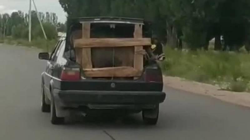 Водитель везет бычка в багажнике авто. Видео и фото