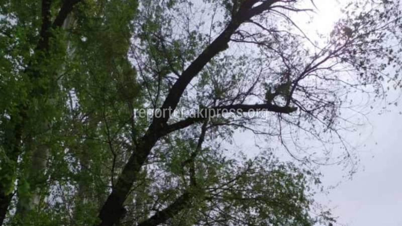 В 10 мкр возле дома №24 два сухих дерева могут упасть (фото)