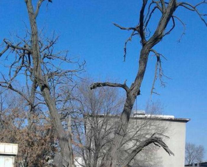 «Зеленстрой» провел санобрезку аварийных деревьев на улице Месароша
