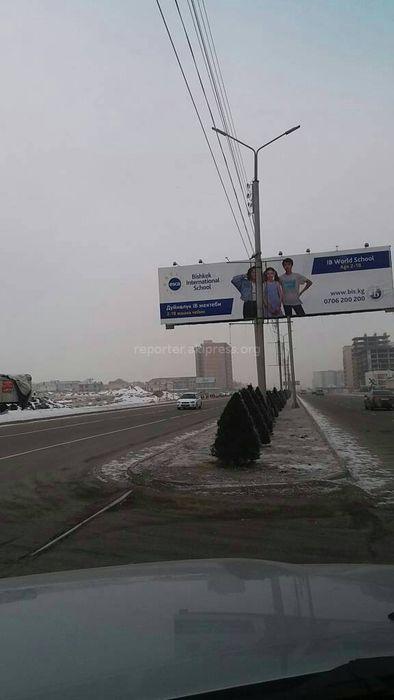 Горожанину необходимо обратиться с письменным заявлением в мэрию Бишкека о переносе елей на участке Южной магистрали