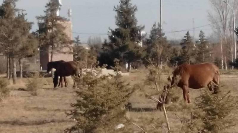 В центральном парке Чолпон-Аты пасутся лошади (фото)