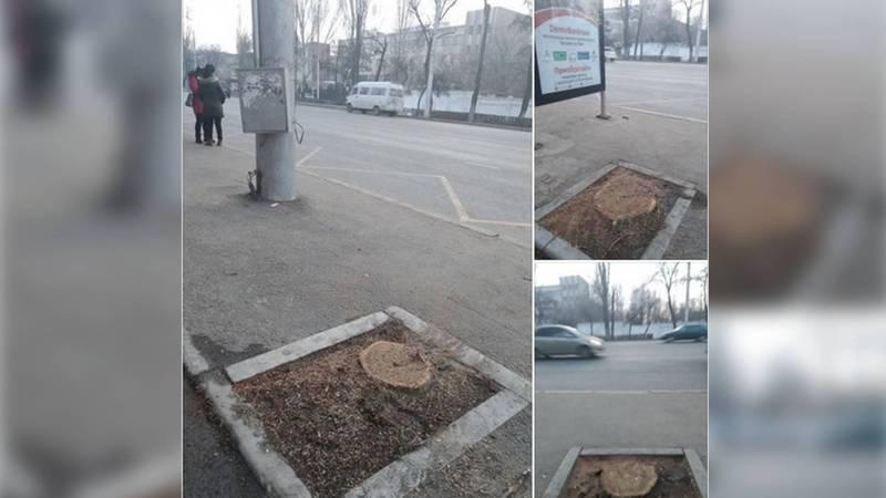 «Что было не так с этими деревьями?». Бишкекчанин возмутился вырубкой деревьев возле Госрегистра