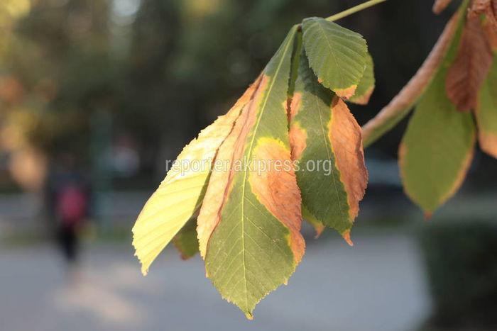 Бишкекчанин просит регулярно поливать деревья на участке улицы Токтогула