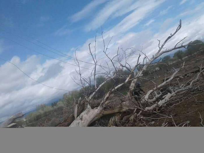 Ат-Башы районунун Терек-Суу айылындагы электр линияларына тоскоол болгон, чириген бак-дарактар кыркылды