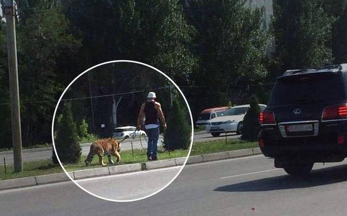 Тигр, которого выгуливали на одной из улиц Бишкека, оказался из цирка шапито на Южных воротах <i>(фото)</i>