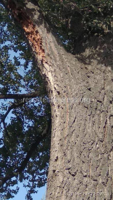 Рабочими «Бишкекзеленхоза» будет произведена санобрезка дерева на участке улицы Толстого