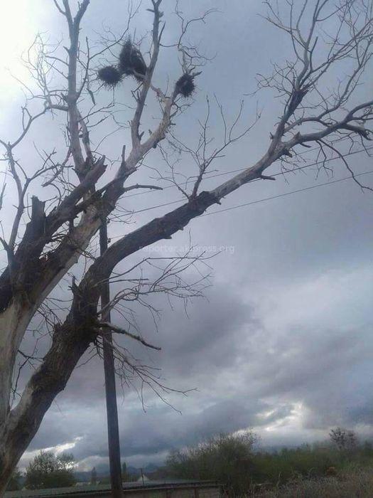 Ат-Башынын Терек-Суу айылында куураган бак-дарактар коркунуч жаратууда (сүрөт)