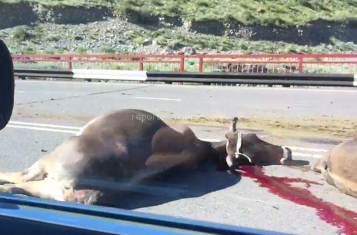 УОБДД Чуйской области о погибших коровах в Боомском ущелье: Их сбил грузовик