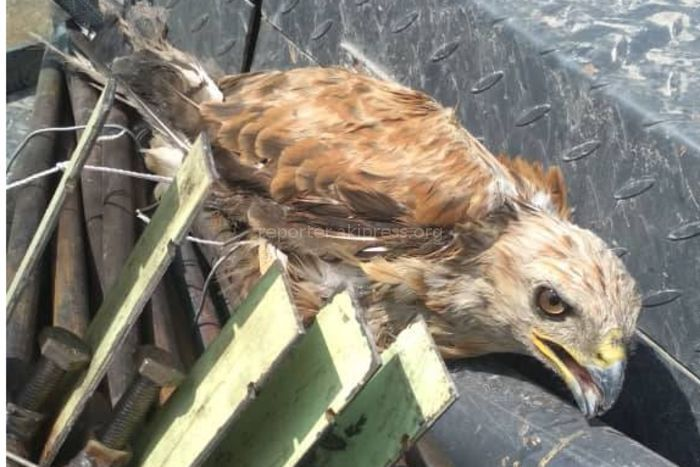 Фото — Строители автодороги Бишкек—Кара-Балта нашли раненого сокола