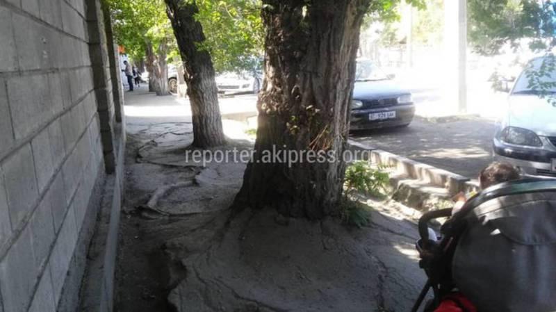 Дерево, выросшее посередине тротуара, разрушает его и мешает проходу. Его не будут убирать, так как оно здоровое