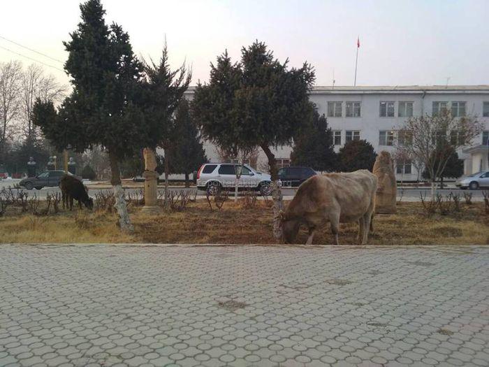 Баткен шаарынын борборунда уйлар оттоп жүрүшөт, - окурман <i>(фото)</i>