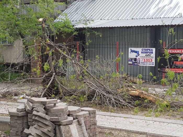 Законно ли вырубили дерево на Токтогула-Акиева? - читатель Султан (фото)